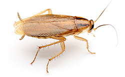 german-cockroach-md